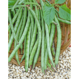 Queen Anne Blackeye Cowpea