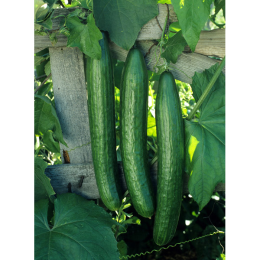 Hybrid Early Spring Burpless Cucumber