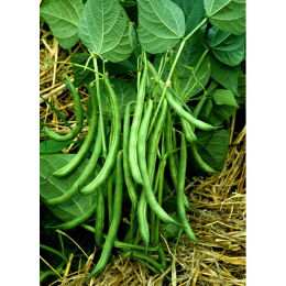 Blue Lake FM1 Pole Bean