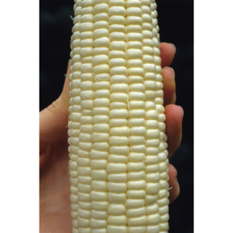 Hybrid Silver Queen Sweetcorn