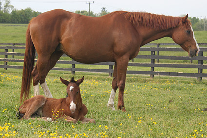 A mare and her foal in a field