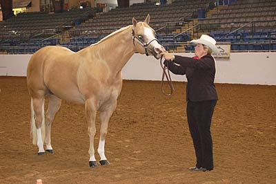 A man usees a halter to show a horse at a show