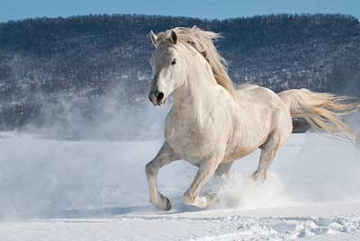 A white horse gallops in the snow