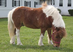 Miniature horse grazing in field