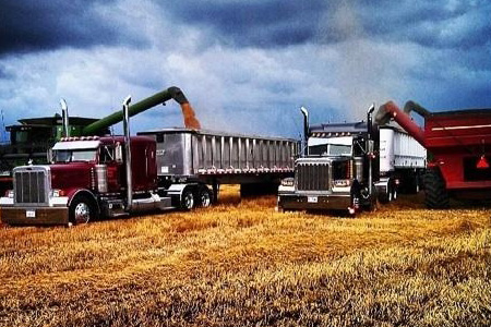 Trucks harvesting a grain crop
