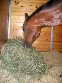 Horse eating hay.