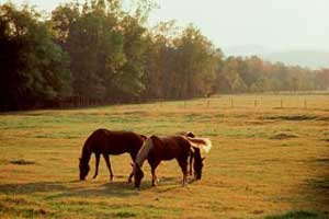 Horse forage for food during a drought.
