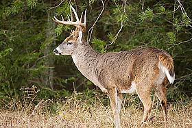 A mature white-tail buck at the edge of a forest