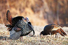 A male wild turkey displays for a hen.