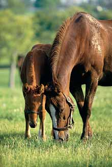 Two horses graze on pasture treated with Cimarron.