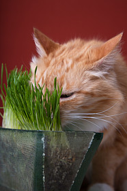Consider growing a pot of cat grass, and place it where your cat can reach it easily as a supplement to its diet.
