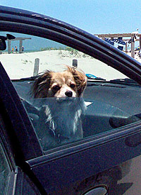 dog looking through a car window in hot weather