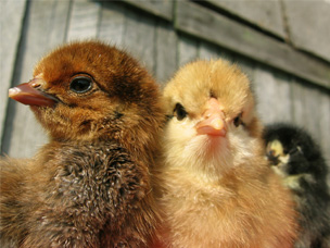 Chicks with illness