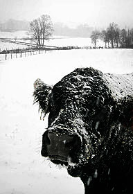 A black cow covered in snow