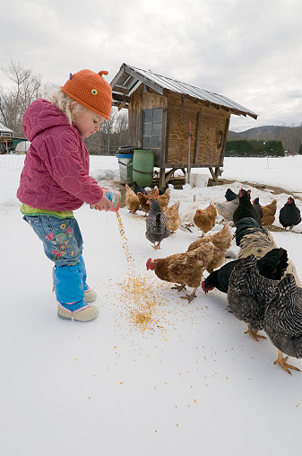 A young girl feeds her chickens in the winter.
