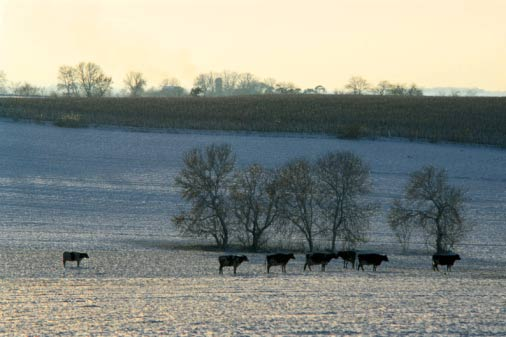 Cattle on a field during winter