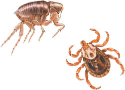 Fleas and ticks are more than a nuisance; they are often carriers of serious diseases.