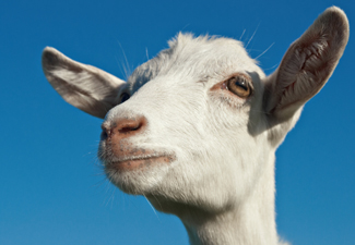 http://www.southernstates.com/images/fauna/goat-face.jpg
