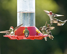Hummingbirds at a feeder are fascinating to watch.
