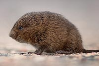 Control voles in the lawn