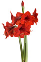 A bright red holiday Amaryllis