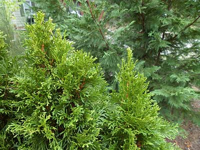 Evergreen shrubs in the winter