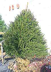 Caring for a Norway Spruce Christmas Tree