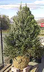 Caring for a Serbian Spruce Christmas Tree