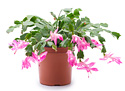 a pink-blooming Christmas cactus