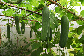 Cucumbers growing on a trellis