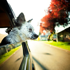Plan ahead for comfort and safety when traveling with your dog.