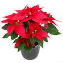a bright red Poinsettia