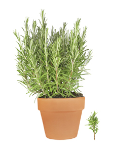 A rosemary plant in a pot